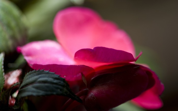 flower-macro-new-guinea-impatiens-pink-close-up-red-nature-beauty-beautiful-lovely-shot-wide-art-desktop-wallpaper